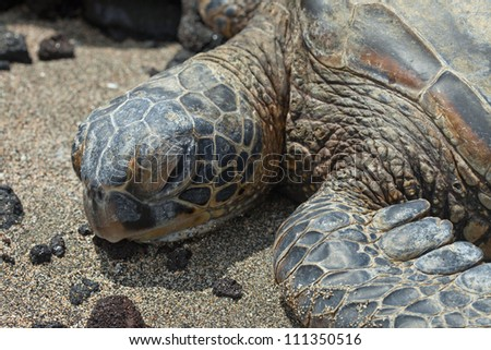Green Hawaiian Sea Turtle on the beach - stock photo