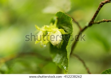 Green hazel nut growing on a tree branch - stock photo