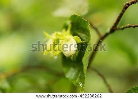 Green hazel nut growing on a tree branch - stock photo