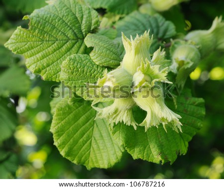 Green hazelnuts and tree leafs in summer garden - stock photo