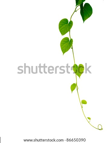Green Heart Leaf isolated on white background. - stock photo