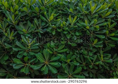 green hedge - stock photo