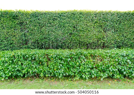 Green Hedge Fence or Green Leaves Wall on White Background