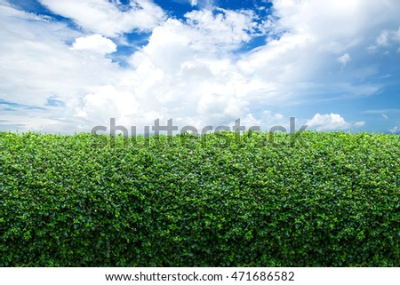 Green hedge fence with a beautiful blue sky with white clouds