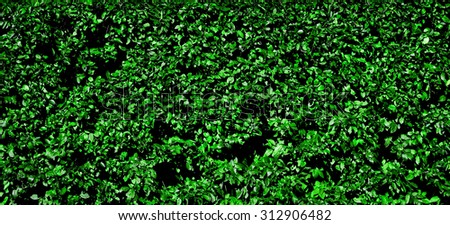 Green hedge leaves texture background