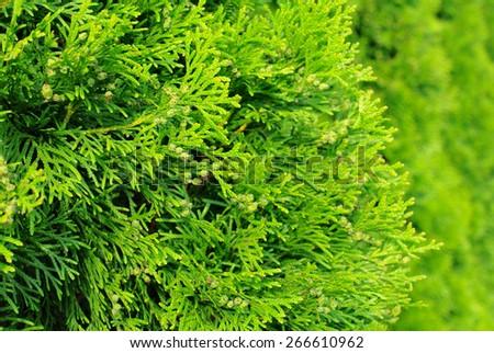 Green Hedge of Thuja Trees - stock photo