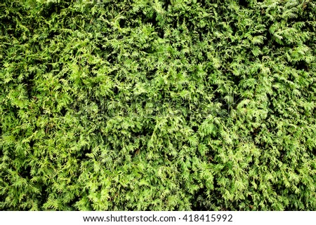 Green hedge of thuja trees wall background. - stock photo