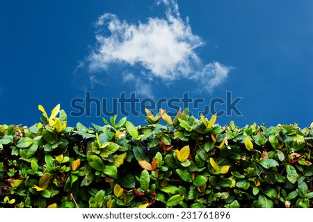 Green hedge with  blue sky and white clouds  - stock photo