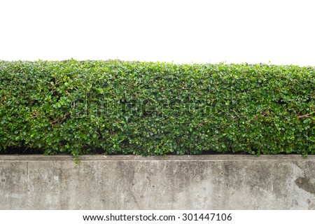 green hedge with concrete wall on white background - stock photo