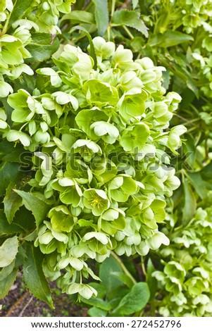 Green hellebore (Christmas rose) in a garden. - stock photo