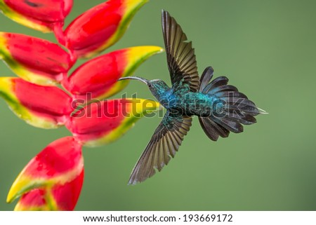 Green Hermit Hummingbird - stock photo