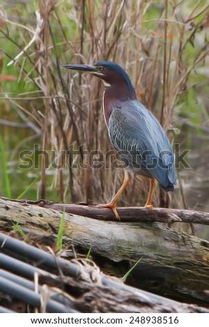 Green Heron at a local Pond fishing. - stock photo