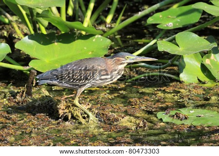 Green heron (Butorides virescens) perching on a branch waiting to catch diner - stock photo