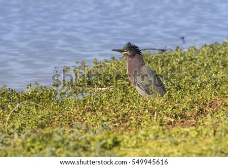 Green Heron fishing by the pond