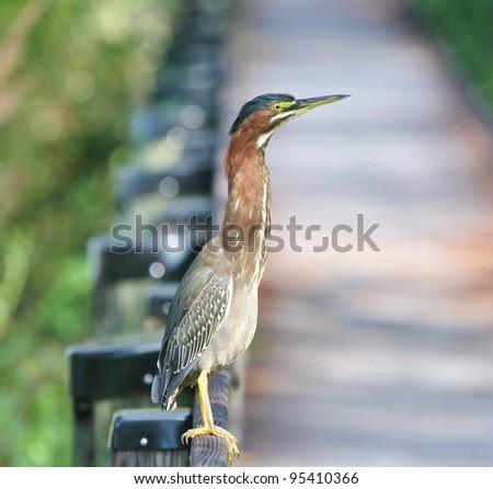 Green Heron on the railing. - stock photo