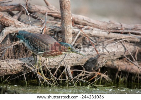 Green Heron searching for fish in the afternoon sun. This photo could be used as a basis for a painting or watercolor. The pastel blue shade of the natural light makes an attractive background. - stock photo