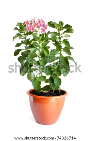 Green home plant with pink flowers in flower pot isolated on white background