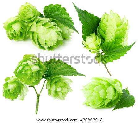 green hops collection isolated on the white background - stock photo