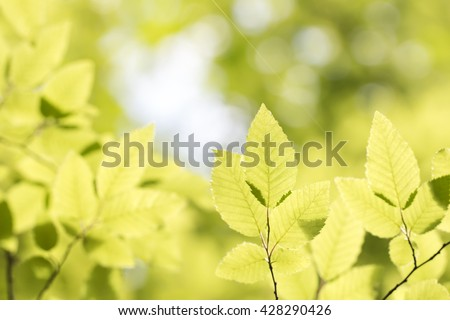 green hornbeam leaves in the forest colorful natural spring background - stock photo