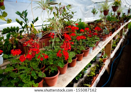 Green house with blooming red geranium plats. - stock photo