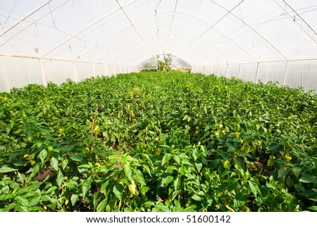 green house with pepper plantation (tunnel shaped plastic greenhouse) - stock photo