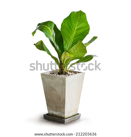 Green houseplant for decoration isolated on white - stock photo