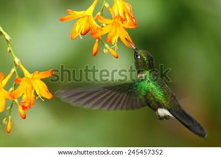 Green humingbird  Tourmaline Sunangel, Heliangelus exortis, flying next to beautiful yellow orange flower, Costa Rica  - stock photo