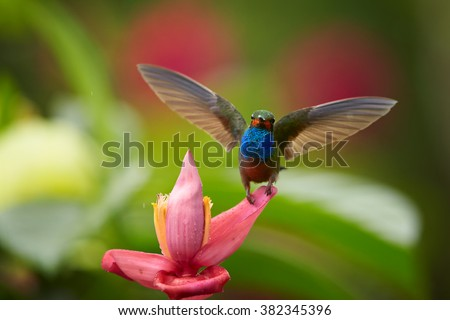 Green hummingbird with sparkling blue throat, White-tailed Hillstar, Urochroa bougueri landing on red banana flower in rainy day against  blurred, green and red background. Front view.Colombia. - stock photo