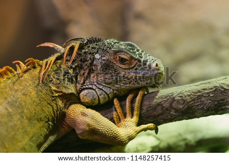 Green iguana, also known as the American iguana, is a large, arboreal, mostly herbivorous species of lizard of the genus Iguana. It is native to Central, South America, and the Caribbean.