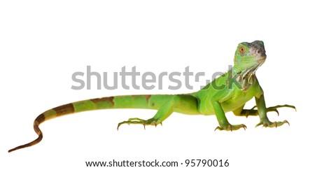 Green iguana (Iguana iguana) isolated on white background - stock photo