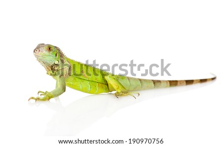 green iguana in profile. isolated on white background - stock photo