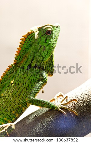 green iguana in the jungle - stock photo