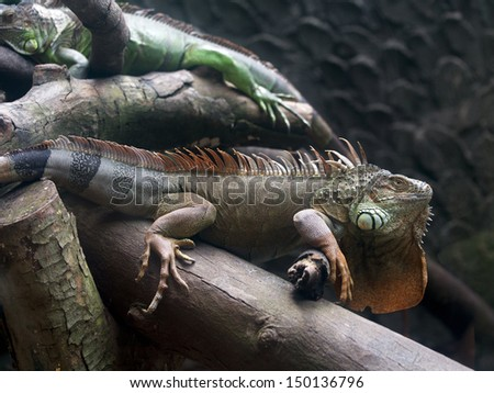 Green iguana in the zoo