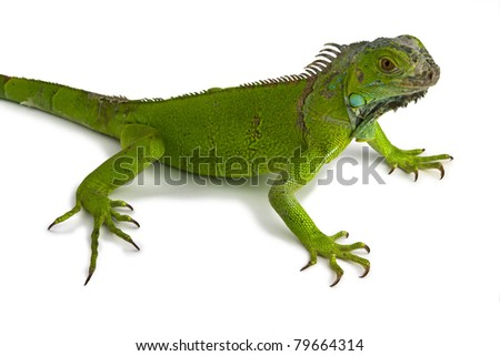 green iguana in white background - stock photo