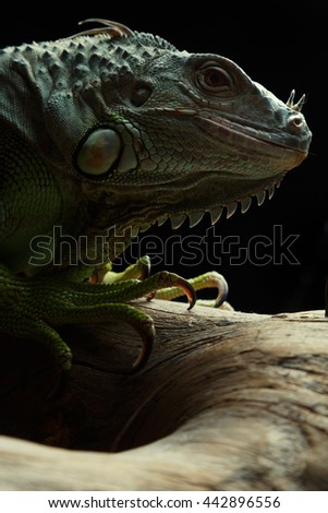 Green Iguana on branch. Isolated on a black background - stock photo