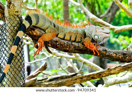 green iguana on sleeping - stock photo