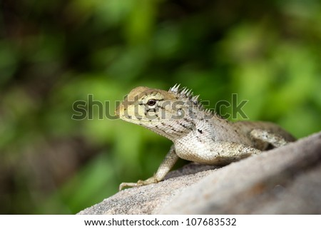Green iguana on the rock in the natural - stock photo