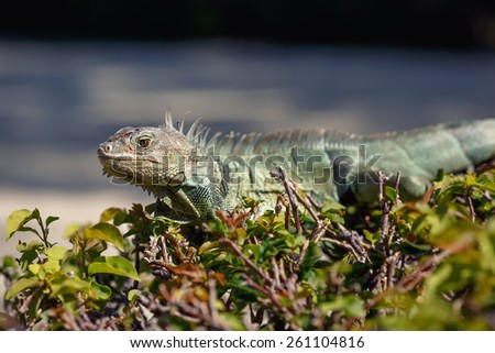 Green Iguana portrait in it's natural habitat, Key West, Florida, USA - stock photo