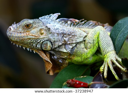Green Iguana profile - stock photo