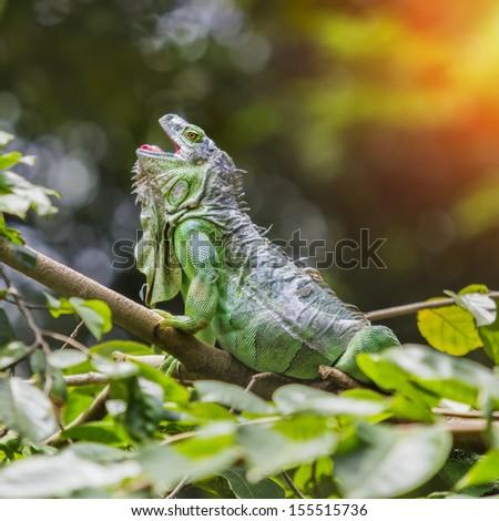 Green iguana sleep on the branch. - stock photo