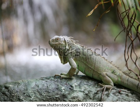 Green iguana with scaly skin near tropical waterfall