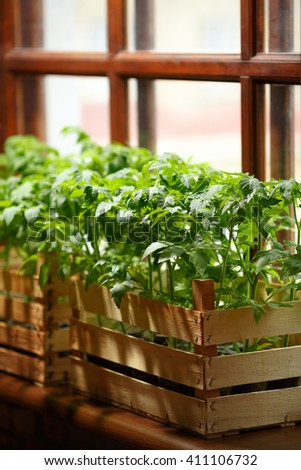 Green indoors. Color of life. Green tomato seedlings planted in boxes in a greenhouse. Seedlings on the windowsill. Seedlings of tomatoes on the background of the window.  Sprouts in a wooden box