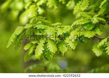 Green irish oak leaves (Quercus petraea) - stock photo