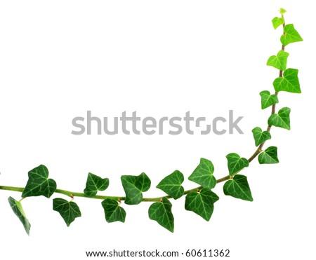 green ivy - stock photo