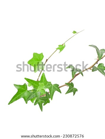 Green ivy branch isolated on white background  - stock photo