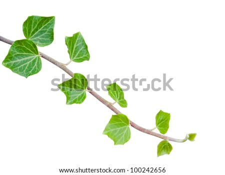 Green ivy branch isolated on white with clipping path - stock photo