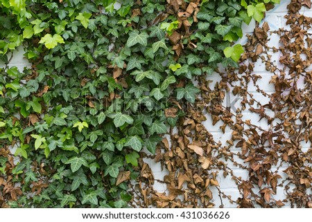 Green ivy Hedera with glossy leaves and white veins on the wall - stock photo