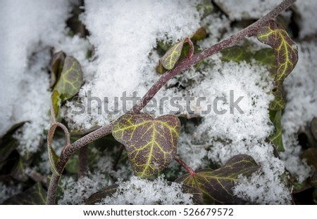green ivy in snow
