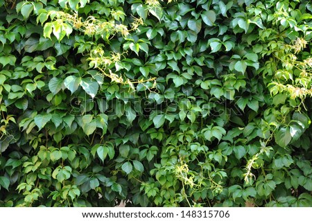 Green ivy on a wall of house - stock photo