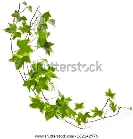 Green ivy plant Hedera helix close up isolated on white background  - stock photo